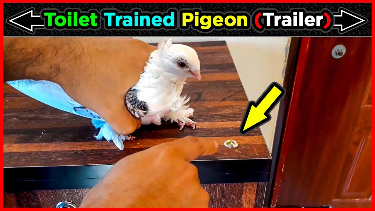 How To Traine A Pigeon For Dropping Toilet In fixed place (trailer) Full Video Coming Soon⚡ Jactok
