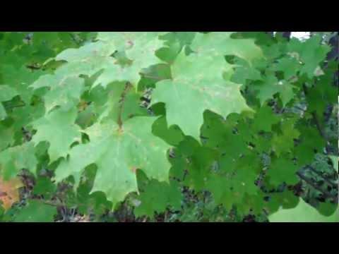 Three maple tree types