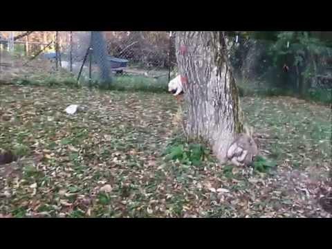 Samoyeds Playing