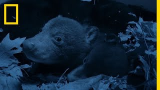 Bear Cubs Emerge From the Den | National Geographic