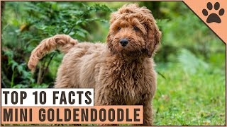 Mini Goldendoodle  Top 10 Facts