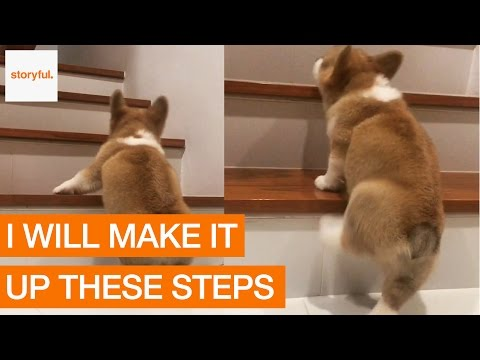 Corgi First Attempt Climbing the Stairs