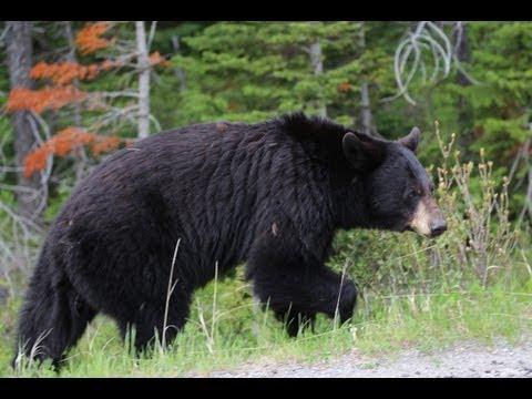 Hiking in bear country: Waterton-Glacier International Peace Park