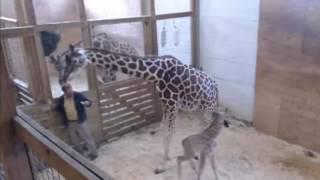 Жираф защищает детеныша