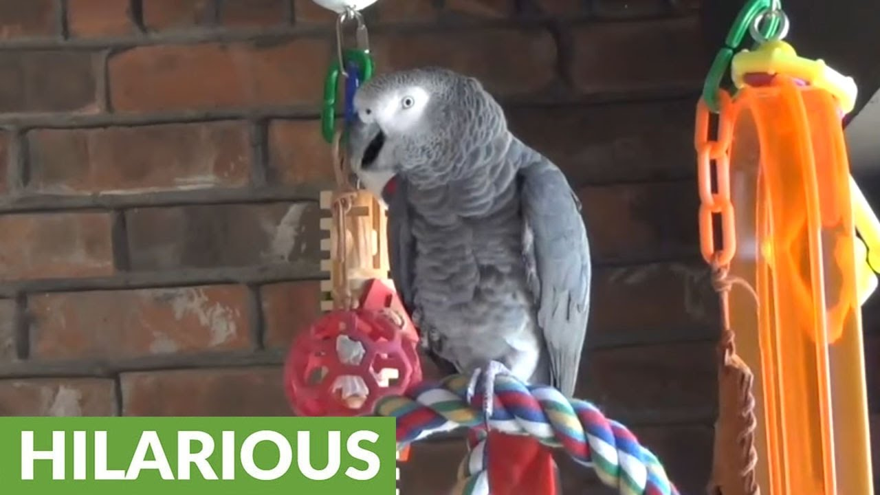 Parrot Perfectly Imitates Barking Dog Next Door Youtube