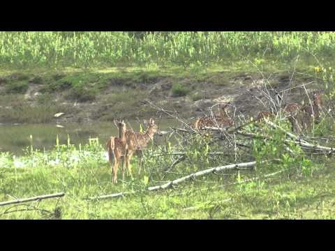 A group of Wild Deers near the Bandipur Mudumalai National Highway