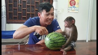 Baby Monkey | Funny Doo Enjoys Fresh Watermelon With His Daddy