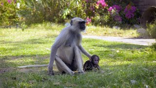 A Langur Female Steals a Baby to Practice Being a Mom