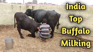 World's No 1 Murrah Buffalo Laddo Milking at CIRB Haryana|Cross 6000kg in Lactation