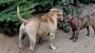 Порода собак. Ка де бо. Впечатляет не только своим название но и своим сильным и мускулистым телом.
