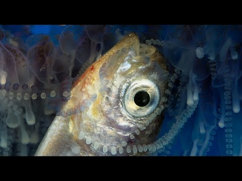 How Portuguese Man O' War Stings And Eats Prey | Blue Planet II