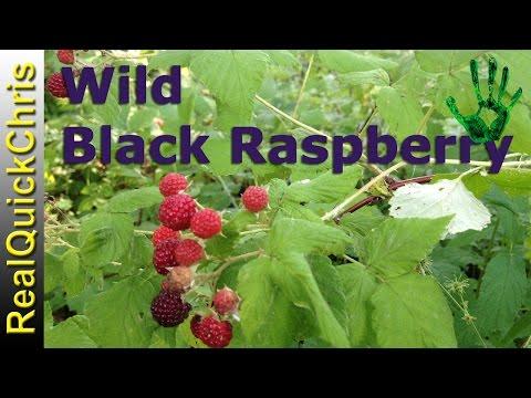 Wild Black Raspberry edible Plant identification of wildberry