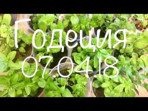 Годеция 07.04.18 Выращивание рассады годеции на 50 день от посева