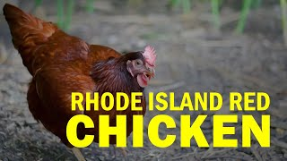 Ating Alamin: Native Chicken: Rhode Island Red: BAI Tiaong