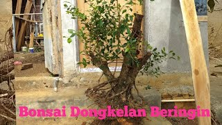 Video Babon Bonsai Dongkelan bahan Beringin kimeng download MP3, 3GP, MP4, WEBM, AVI, FLV Juni 2018