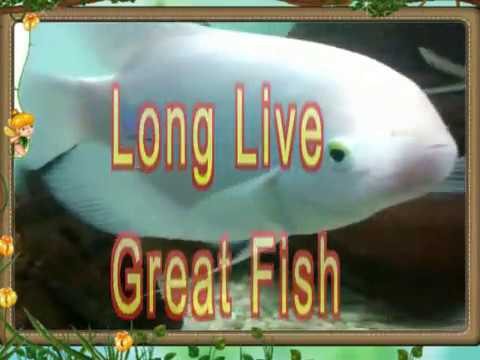 Worlds biggest white molly fish youtube for Molly fish food