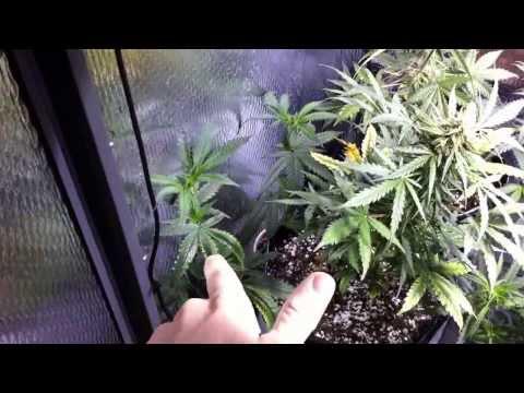 600w Mixed Strain Garden Update 9/16/13 (Shoreline, MTG