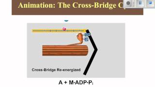 Ch9 3 Cross Bridge Cycling and Contraction 2