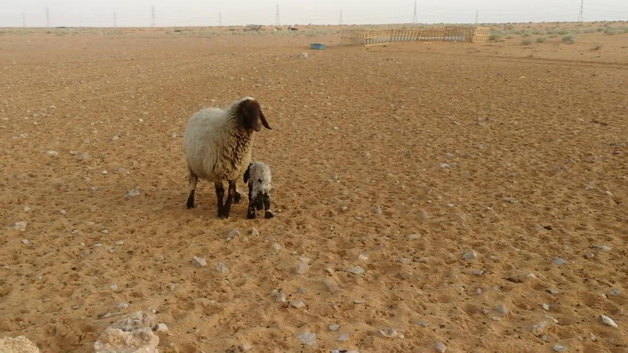 النعيمي خروف