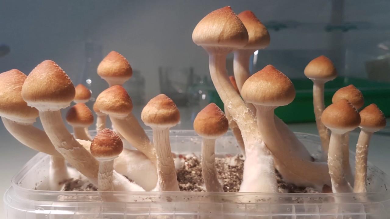 Psilocybe Cubensis by Psilo Lab Netherlands
