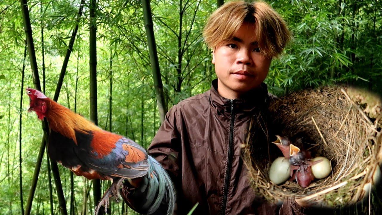 Tìm Ổ Gà Rừng Và Tổ Chim Ái Ái Trân Trân   Dân Tộc Tây Bắc Tv