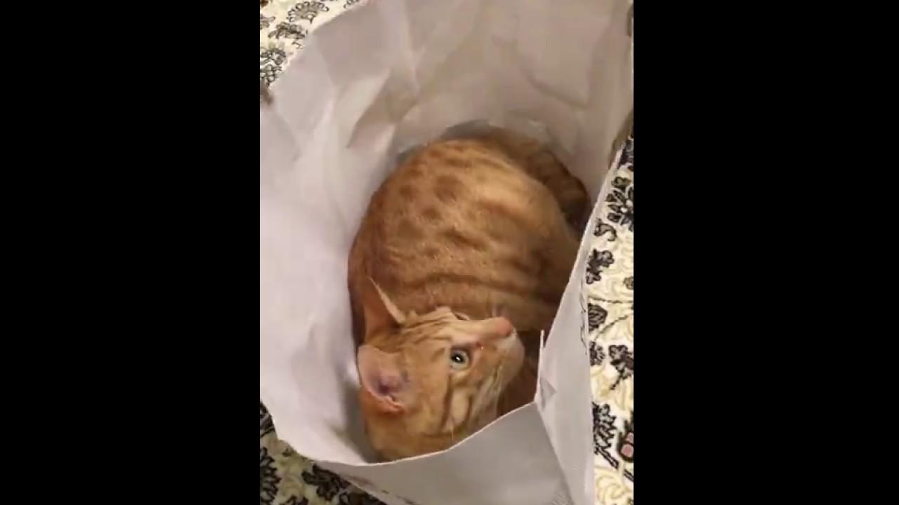 袋に入るネコにちょっかいをかけてみた1 (3秒)
