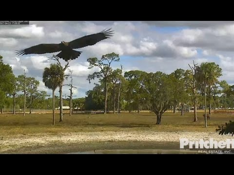 SWFL Eagles ~ E9 Returns ~ Visits Nest, Soars & Perches On Snag Tree 4.23.17
