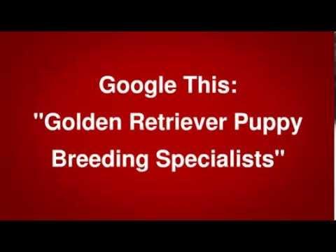 golden-retriever-puppy-breeder-nj