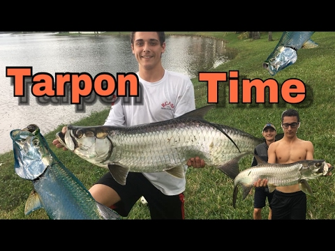 Catching HUGE Freshwater tarpon!! 50lb Giants