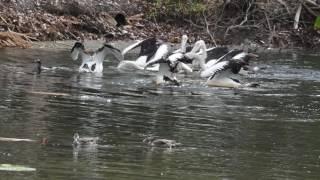 コシグロペリカンの集団漁20141020