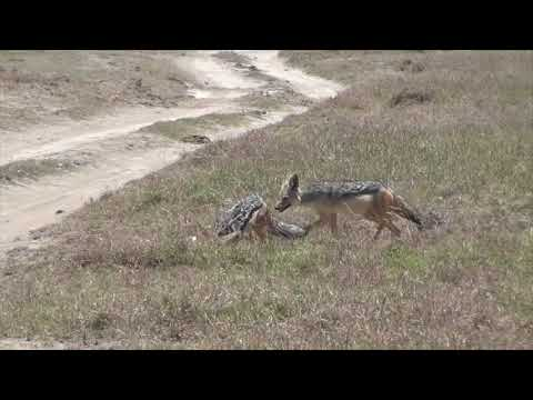 Jackals kill gazelle fawn
