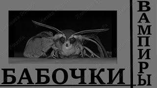 Редкие бабочки Бабочки вампиры Удивительные явления