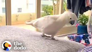 This Wild Cockatoo Does This To His Favorite Person Every Day | The Dodo Wild Hearts