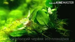 Планарии(белые плоские черви)в аквариуме как их уничтожить / Planaria (white flatworms) in the aquar