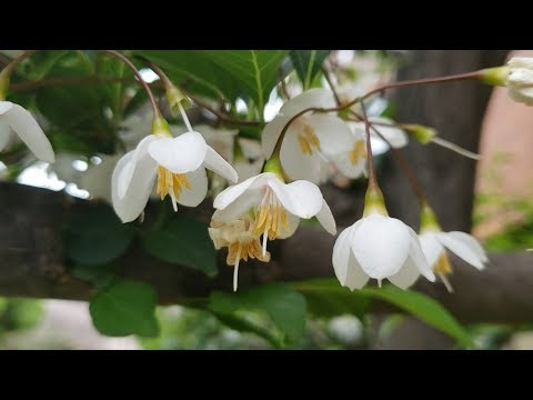 Styrax Japonica, Japanese Snowbell, エゴノキ (egonoki)