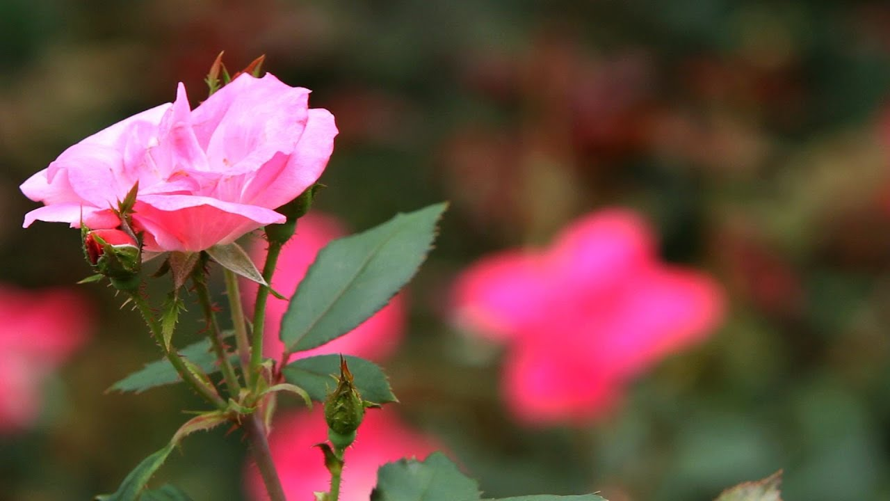 How to take care of roses - How To Prune Roses Lawn Garden Care