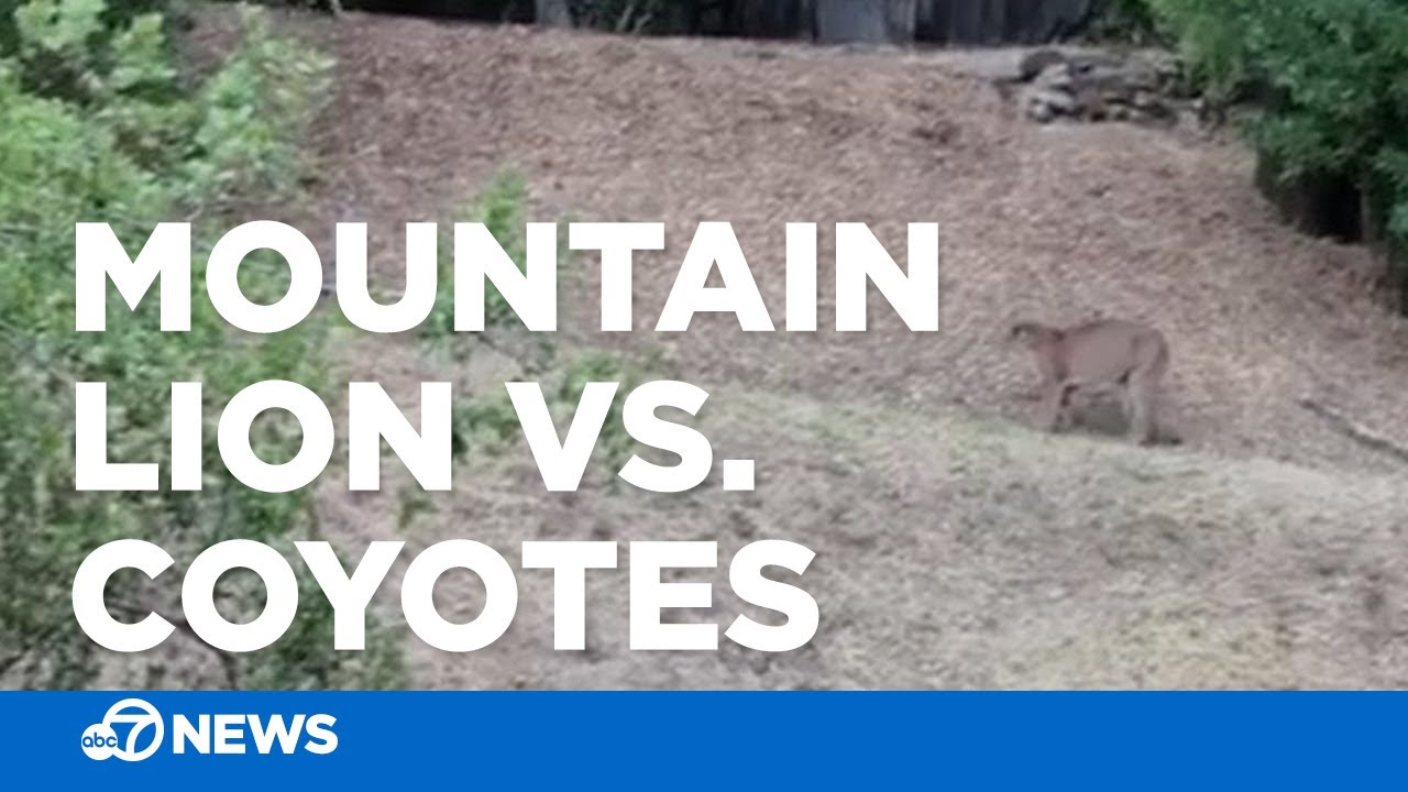 Standoff between mountain lion and coyotes caught on camera