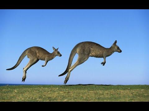 Вопрос: Сколько лет живет кенгуру?