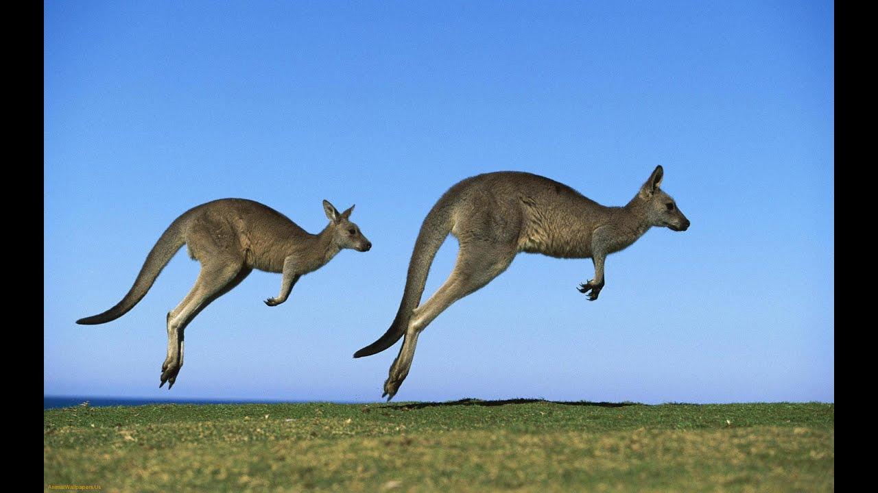 Ребятам о зверятах кенгуру