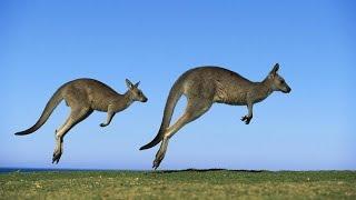 видео Где живут кенгуру? Их образ жизни. Сколько живут кенгуру?