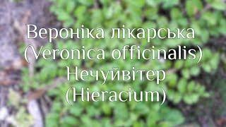 Вероніка лікарська (Veronica officinalis) || Нечуйвітер (Hieracium)