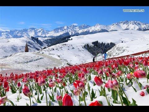 Grand Solar Minimum Update 5/26/18 - Alberto Threatens - Tulips In Snow - Kilauea Continues