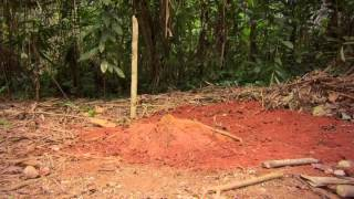 Pygmies BAKA a cry from rainforest - DÉFORESTATION ALCOOLISME