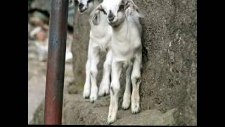 Goat farm near Mumbai
