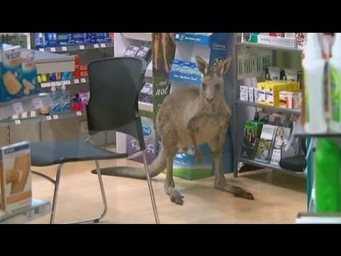 Kangaroo on the loose in Australian airport pharmacy