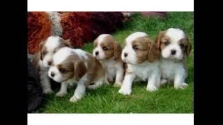 Английский той-спаниель невероятно милые собачки