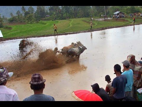 Pacu Jawi (Mud Cow Racing)@West Sumatra Nov 2016