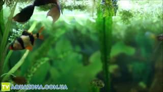 Макропод - рыбки аквариумные для маленького аквариума