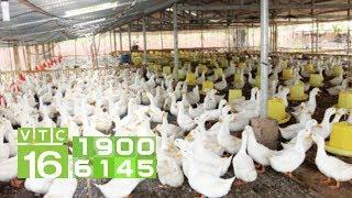 Cách làm chuồng nuôi vịt khép kín lại thông minh | VTC16