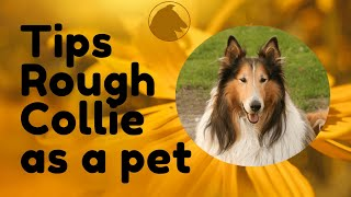 Tips for choosing a rough collie as a pet